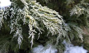 Можжевельник зимой