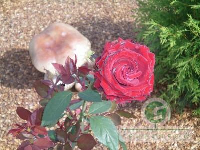 Сочетание хвойников и роз